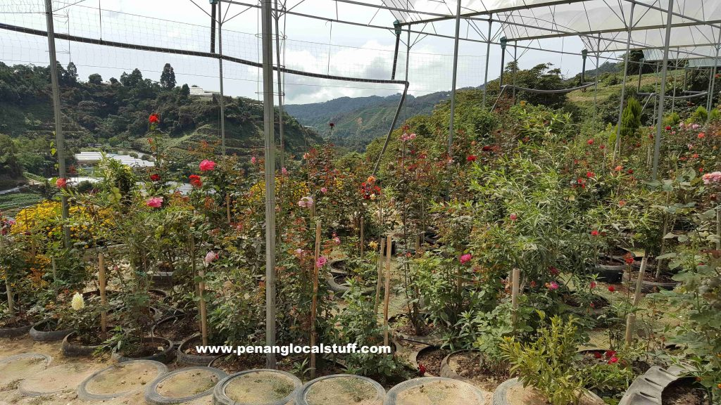 Cameron Highlands Orchid And Rose Garden